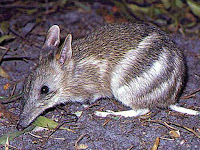 Bandicoot Animal Pictures
