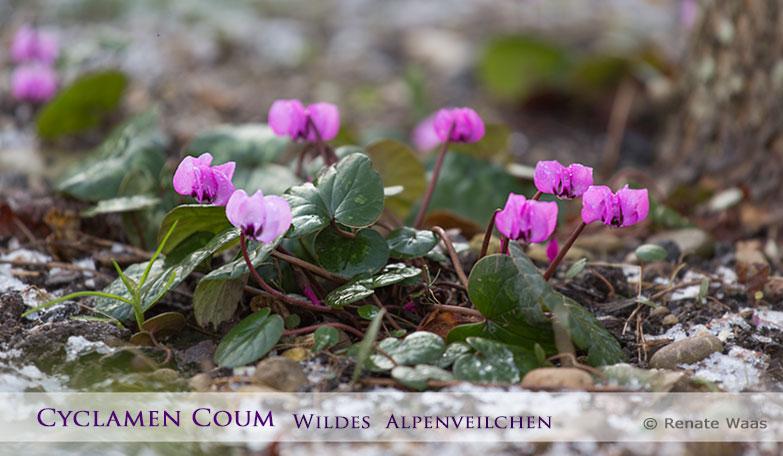 Blüten im Winter! Cyclamen coum blüht bei uns ein sehr zuverlässig jedes Jahr ab Dezember - egal ob es Schnee hat oder nicht.