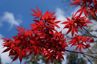 piante-da-giardino-con-foglie-rosse-acero-rosso