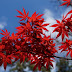 Piante da giardino con foglie rosse