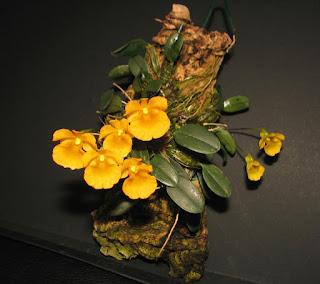 Dendrobium jenkinsii care and culture