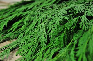 Port Orford Cedar Holiday wreaths