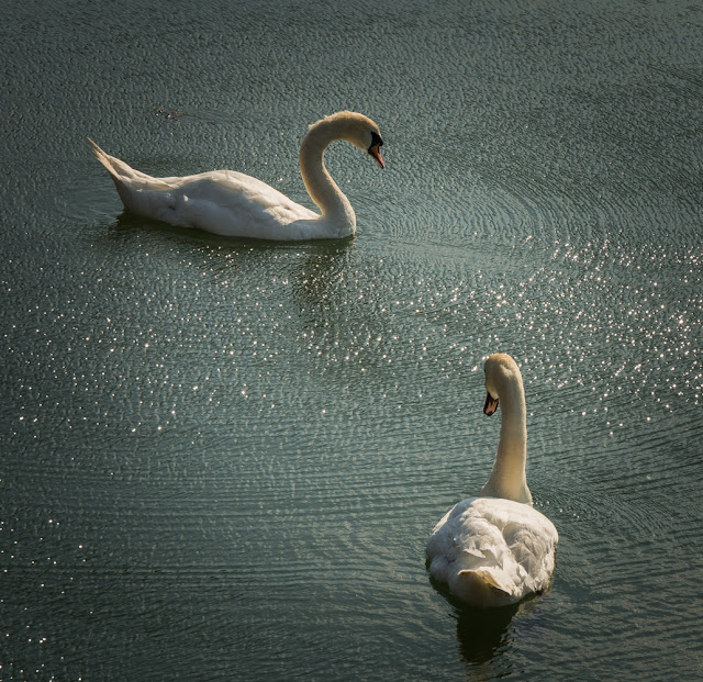 Photo of swans - but no cygnets