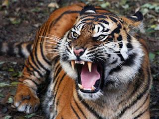 Cerpen Harimau Di kandang Kambing Karya Yan Hendra