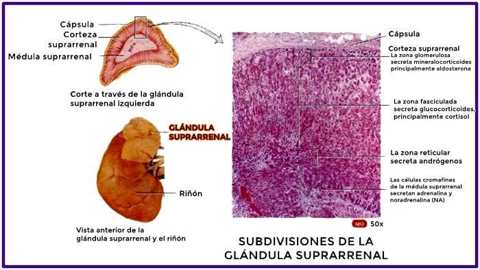 Ubicación de las glándulas suprarrenales en el cuerpo humano