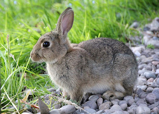 facts of rabbits