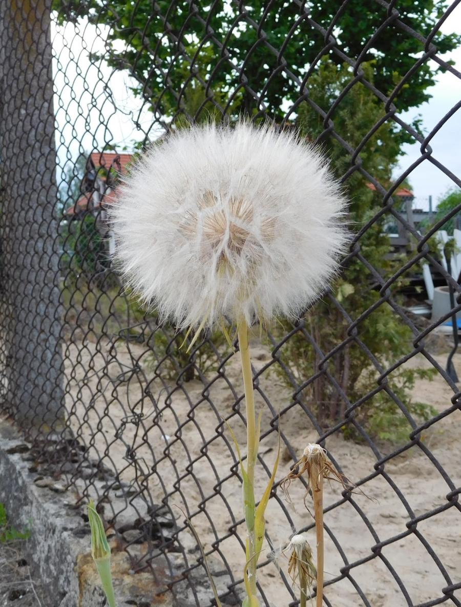 blow ball