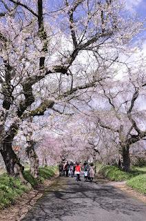 女性部員のお店に桜の写真を展示しています