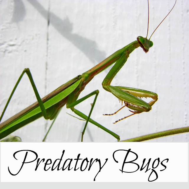 Predatory bugs, natural enemies of common pests