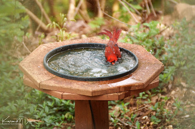 male cardinal in bird bath