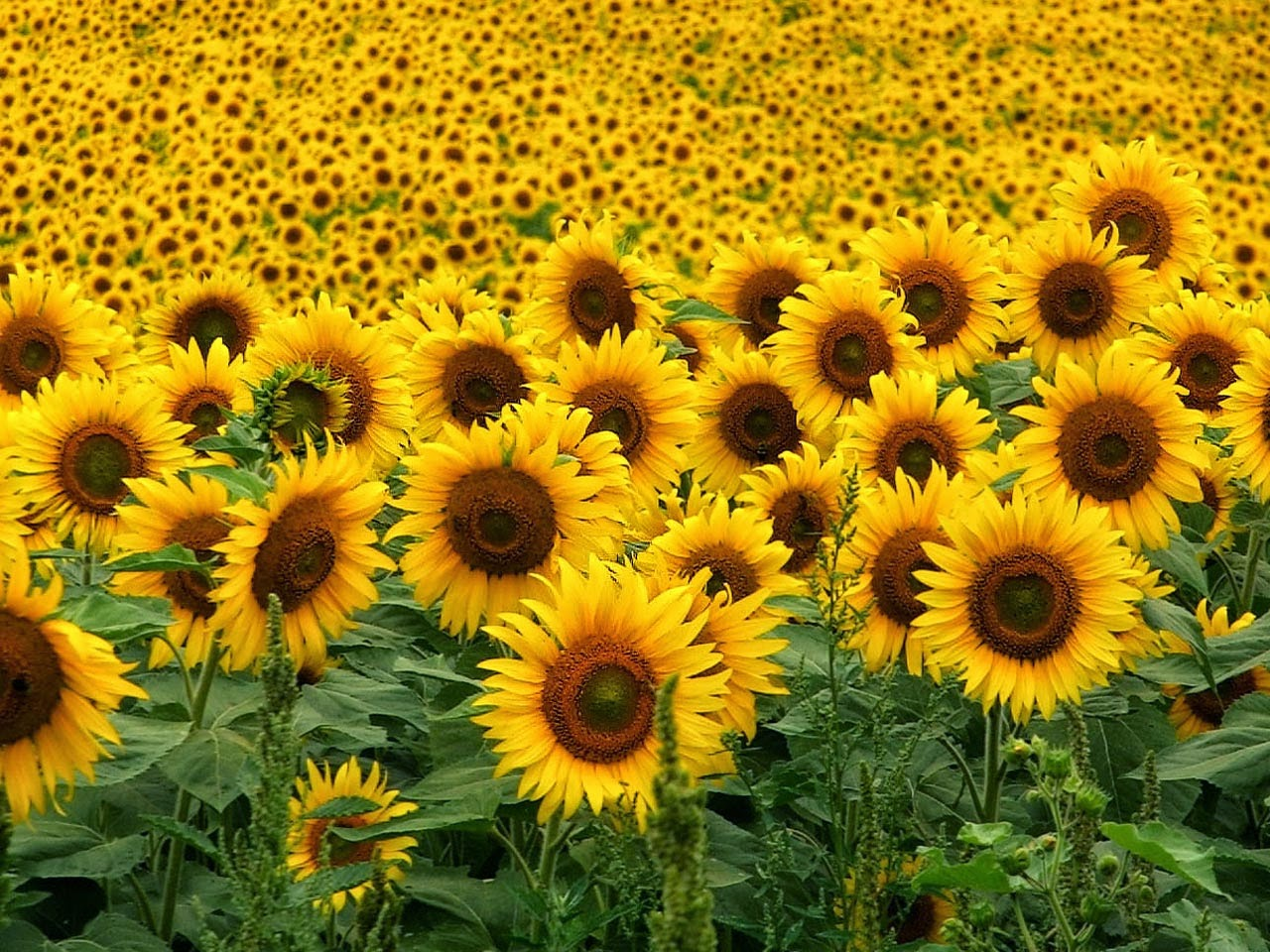 Rumput Gandum Wheatgrass Tanam Bunga Matahari Dan Bersedekah Pada Lebah