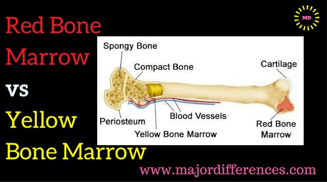 Red Bone Marrow  vs  Yellow  Bone Marrow