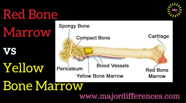 Red Bone Marrow  vs  Yellow  Bone Marrow