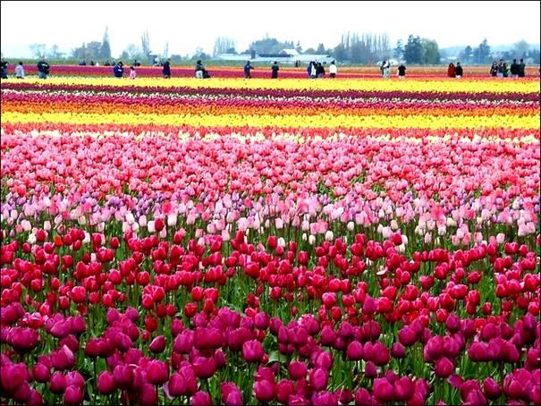 مزارع الزهور image027-778191.jpg