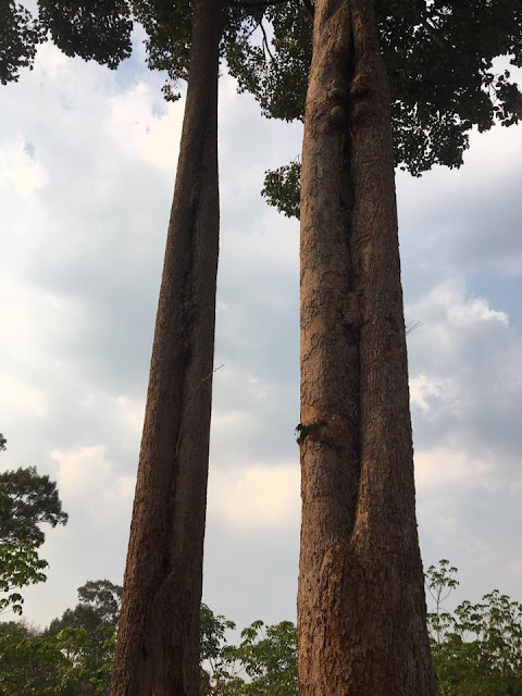 We've arrived near where the incident took place. A few old growth trees from the old growth forest remain in local village farms, now mostly planted with pineapple and rubber trees.