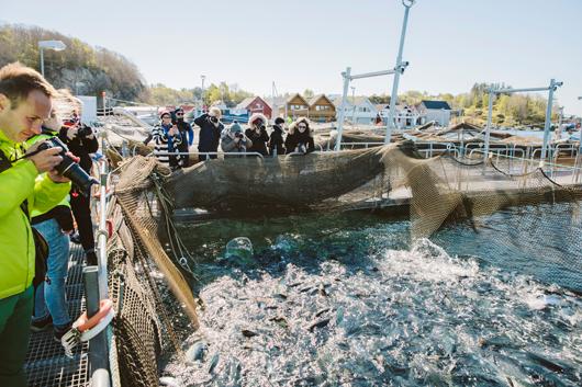 Die Lachse werden an die Wasseroberfläche geholt