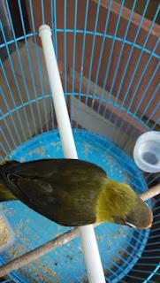 harga lovebird olive