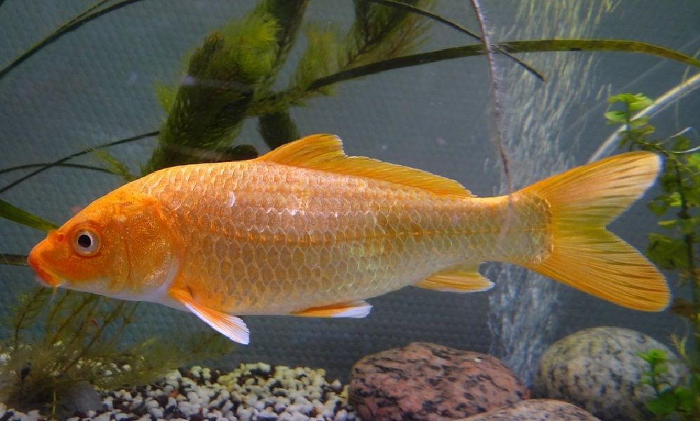 Pemijahan Ikan Mas