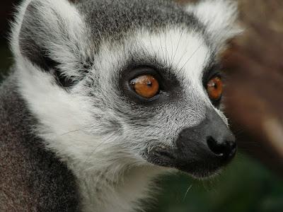 Singe de Madagascar