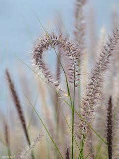 lavender grass curl