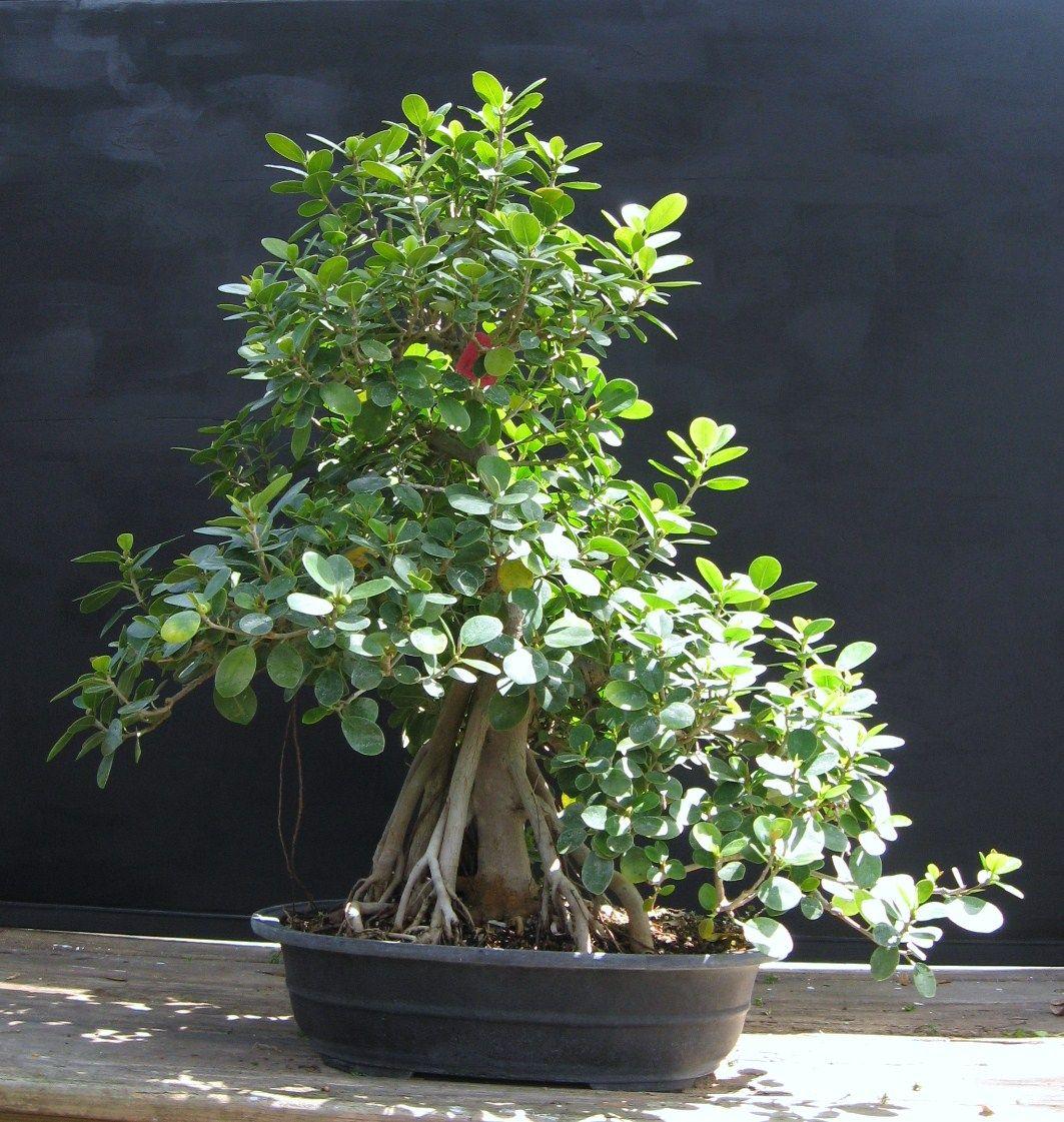 Bonsai Tree 26 Beautiful Green Island Ficus Bonsai Ideas