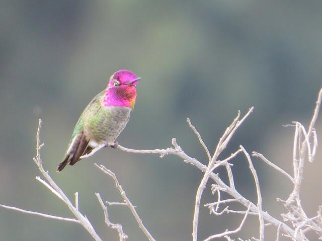 Bird watching Bay Area: hummingbird