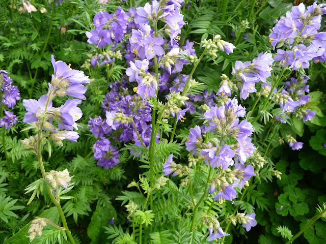 Best soil type for Jacobs Ladder blue perennial-life between the flowers