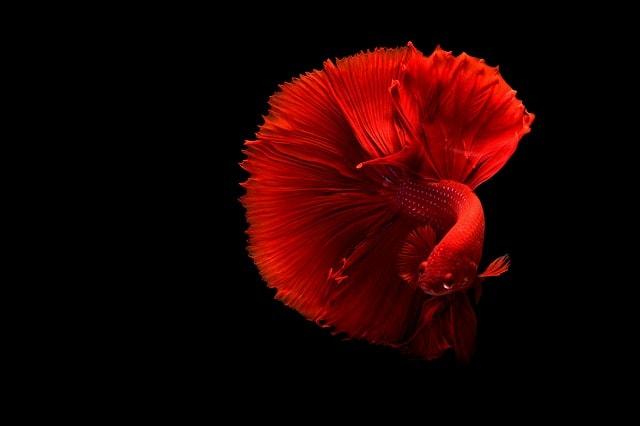 Cara Mengawinkan Ikan Cupang Agar Cepat Bertelur Untuk Pemula