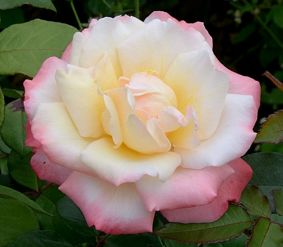 Laetitia Casta сорт розы Мейян фото