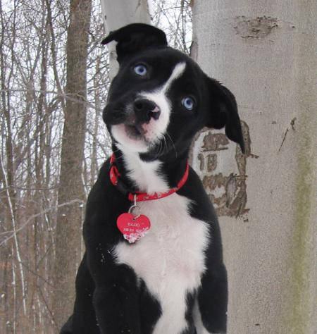 Cute Dogs Black And White Pitbull Terrier