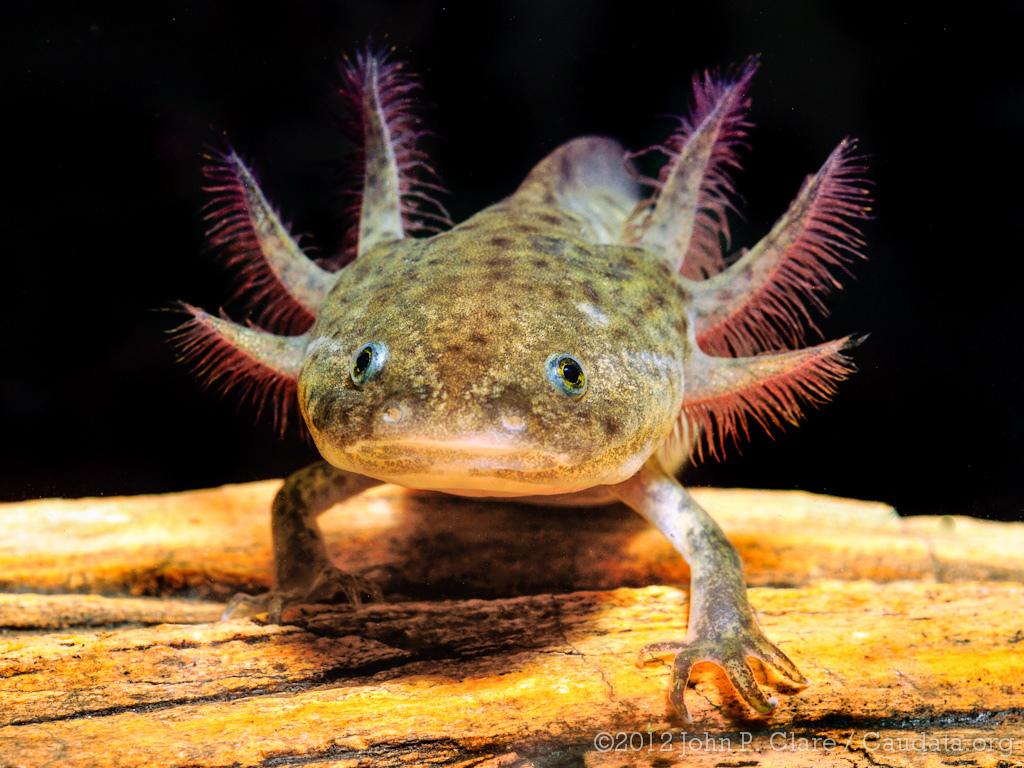 Axolotl Salamander Adult