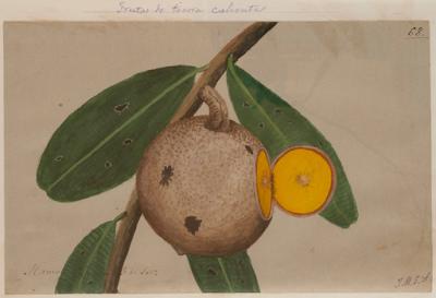 acuarela fruto de mamey