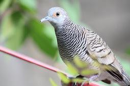 10 Perawatan Burung Perkutut Yang Baik Dan Benar
