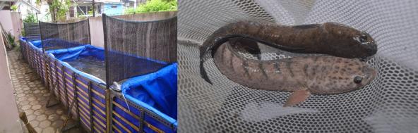 contoh Ternak Ikan Gabus di kolam terpal