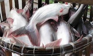 budidaya ikan patin di kolam tembok