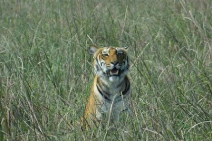 Akhir Kisah Harimau Pemangsa Enam Orang Manusia