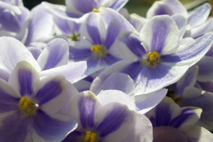 Detalle violeta africana