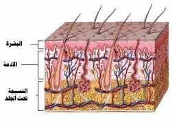 بحث حول أهمية الجلد في منع تسرب الجراثيم داخله