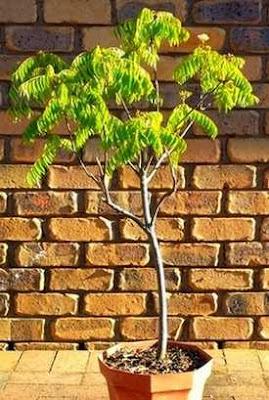 Curry leaf tree plant