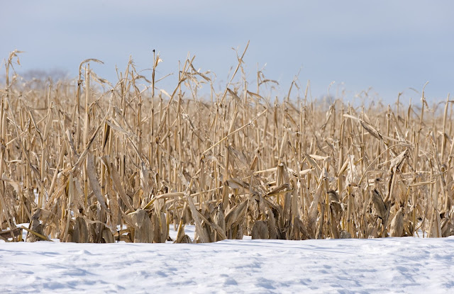 Dried cornstalks in a field of winter snow.