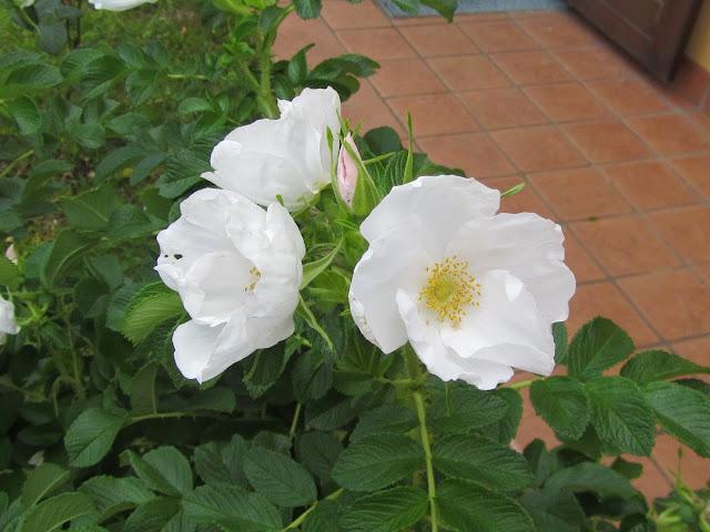 Fiore rosa Gufo delle Nevi