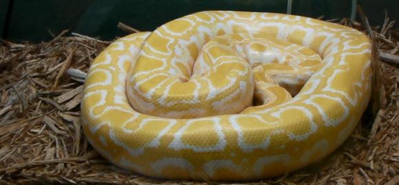 Burmese Python in Florida