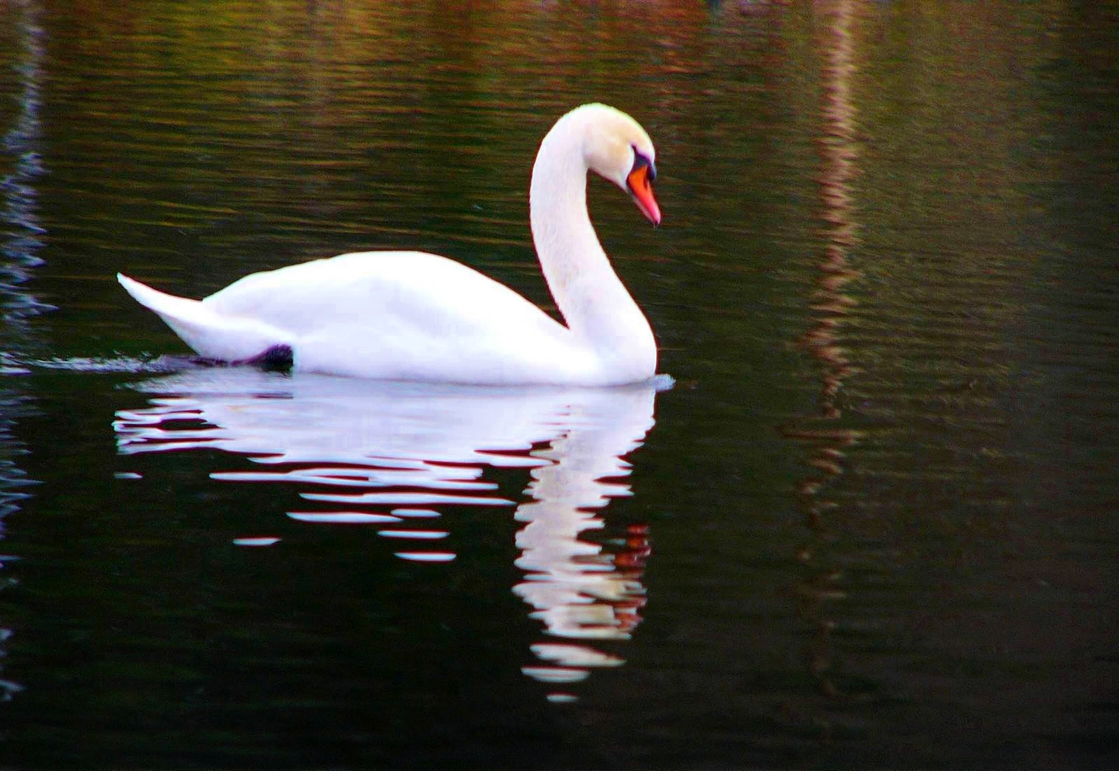 Wallpapers White Swan