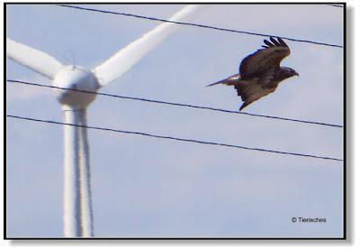 Greifvögel verunglücken oft an Windrädern