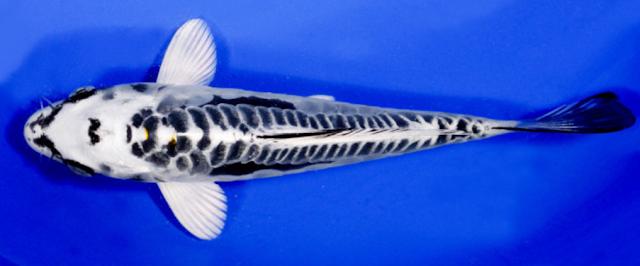 Ikan Koi Matsuba
