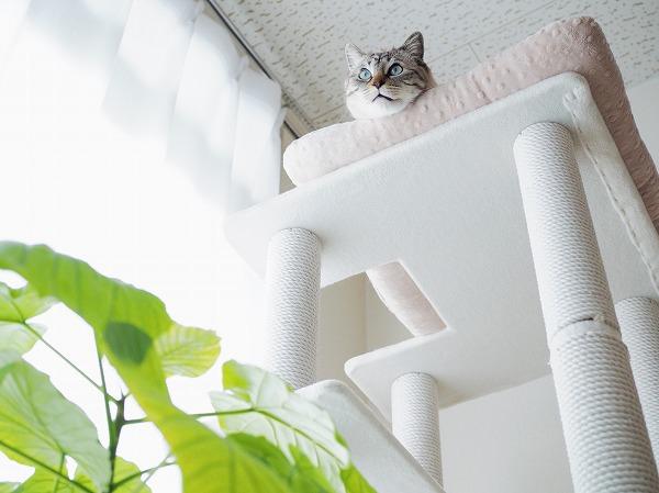 キャットタワーのてっぺんに置いたベッドから顔だけ出しているシャムトラ猫を下から撮ったところ