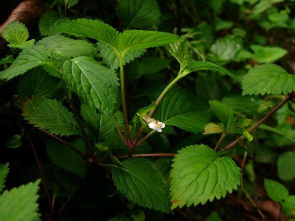 Cây Thanh Ngâm - Curanga amara - Nguyên liệu làm thuốc Chữa Bệnh Tiêu Hóa