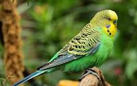Burung Parkit Warna Hijau