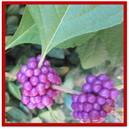 American Beautyberry Welcome!