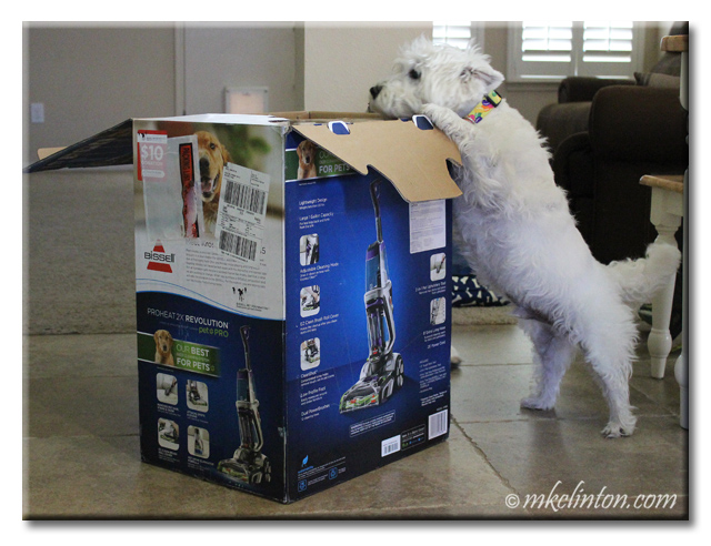 Westie looking in box